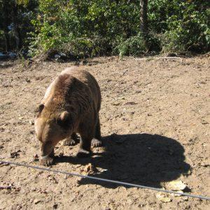 Rezervatia de ursi Zarnesti, cautand de mancare